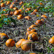 Pumpkin field — Stock Photo #8167130