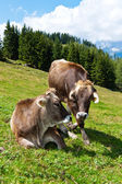 Cows in a pasture on the mountain — Stock Photo