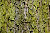 Corteza de un árbol en el bosque — Foto de Stock