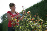 Woman cut flowers in the garden with garden shears — Stock Photo