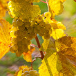 Stock Photo: Grapes and vines in the fall