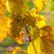 Grapes and vines in the fall — Stock Photo