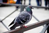 Pigeon — Stock Photo