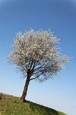 Albero con fiori in primavera — Foto Stock