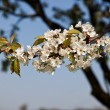 Blossoming cherry tree branch — Stock Photo