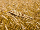 Wheatfield with barley spike — Stock Photo