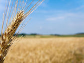 Wheatfield with barley spike — Стоковое фото