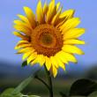 Sunflower in the summer sun and blue sky — Stock Photo