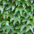 Ivy creeper green leaves background — Stok fotoğraf