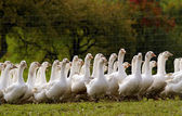 Flock of white geese — Stock Photo