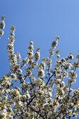 在早春开花的树 — 图库照片
