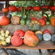 Pumpkins of different varieties and colors — Stock Photo