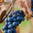 Stock Photo: Grapes and vines in fall