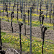 Vineyard in spring in the wachau, austria — Stock Photo