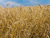 Barley field in summer — Stock Photo