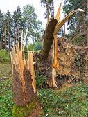 风暴破坏。在一场暴风雨后森林的树木. — 图库照片