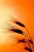Campo de trigo com cevada antes do pôr do sol — Foto Stock