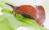 Slug on a lettuce leaf — Stock Photo