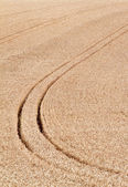 Traces in the cornfield. background — Stock Photo