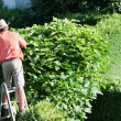 Man cut the hedges — Stock Photo