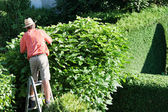 Man cut the hedges — Stock Photo