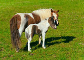 Pony mare and foal — Stock Photo
