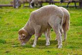 Ram on a farm — Stock Photo