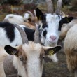 Flock of Goats — Stock Photo #8516131