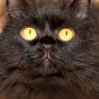 Stock Photo: Furry black cat with yellow eyes looking at camera.