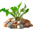 Stock Photo: Young green fern growing on naked stones, isolated on white bac