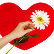 Stock Photo: Female hand holds camomile in background of red heart.