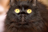 Furry black cat with yellow eyes looking at the camera. — Stock Photo
