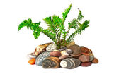 Young green fern growing on naked stones, isolated on white bac — Stock Photo