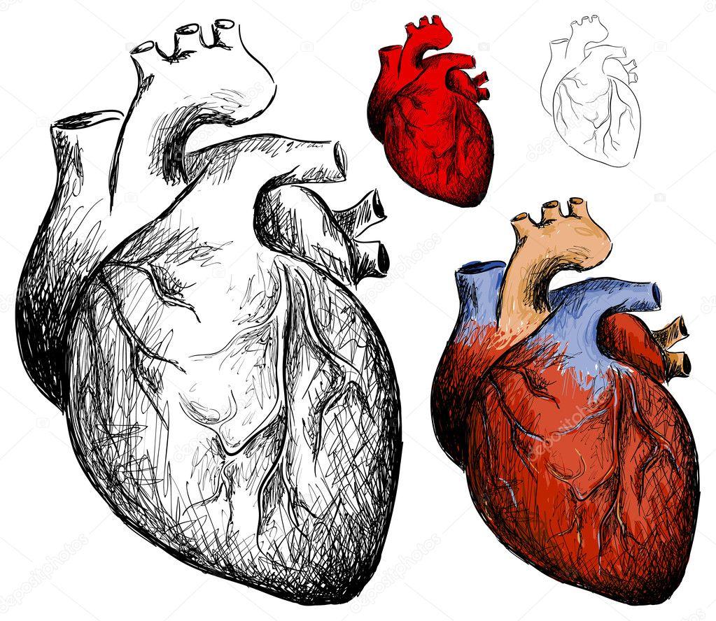 Нарисовать человеческое сердце карандашом