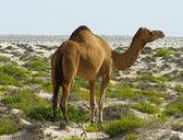 Camel at desert — Stock Photo
