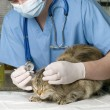 Wounded cat treated by veterinarian — Stock Photo #10652573