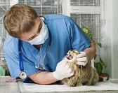 Veteriner tarafından tedavi yaralı kedi — Stok fotoğraf