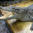 The crocodiles — Stock Photo