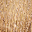 Dry reed, cane. — Stock Photo