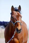美しい赤いスポーツ馬 — ストック写真