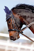 Muzzle of a brown sports horse — Stock Photo