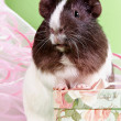 Stock Photo: Guinepigs and gift