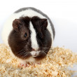 Guinea pigs and Sawdust for animals — Stock Photo #8936818
