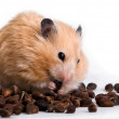 Hamster with кедровами nuts on white background — Stock Photo #8938533