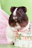 Guinea pigs and gift — Stock Photo