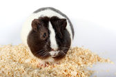 Guinea pigs and Sawdust for animals — Stock Photo