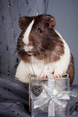 Guinea pigs and gift and heart — Stock Photo