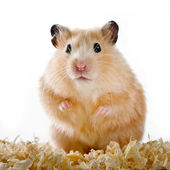 Hamster on sawdust on a white background — Stock Photo