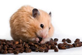 Hamster with кедровами nuts on a white background — Stock Photo