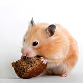 Hamster gnawing a bread crust — Stock Photo